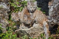 Bobcat Triplets